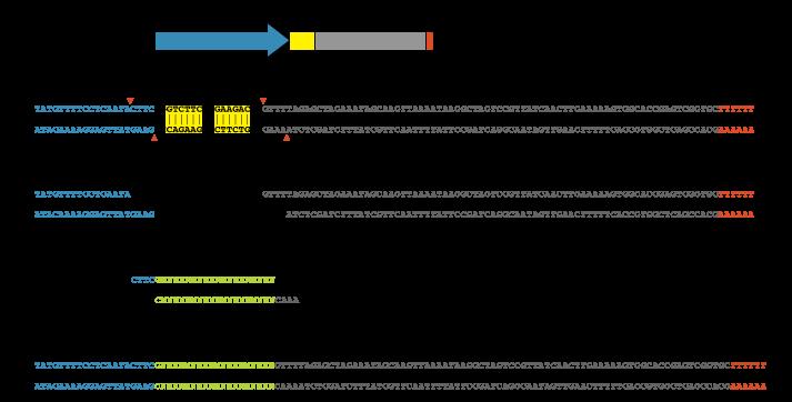 U6-gRNA (chiRNA) cloning – flyCRISPR
